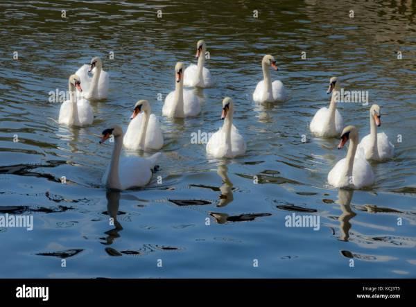 Seven Swans Swimming - Christmas Stock 162667349