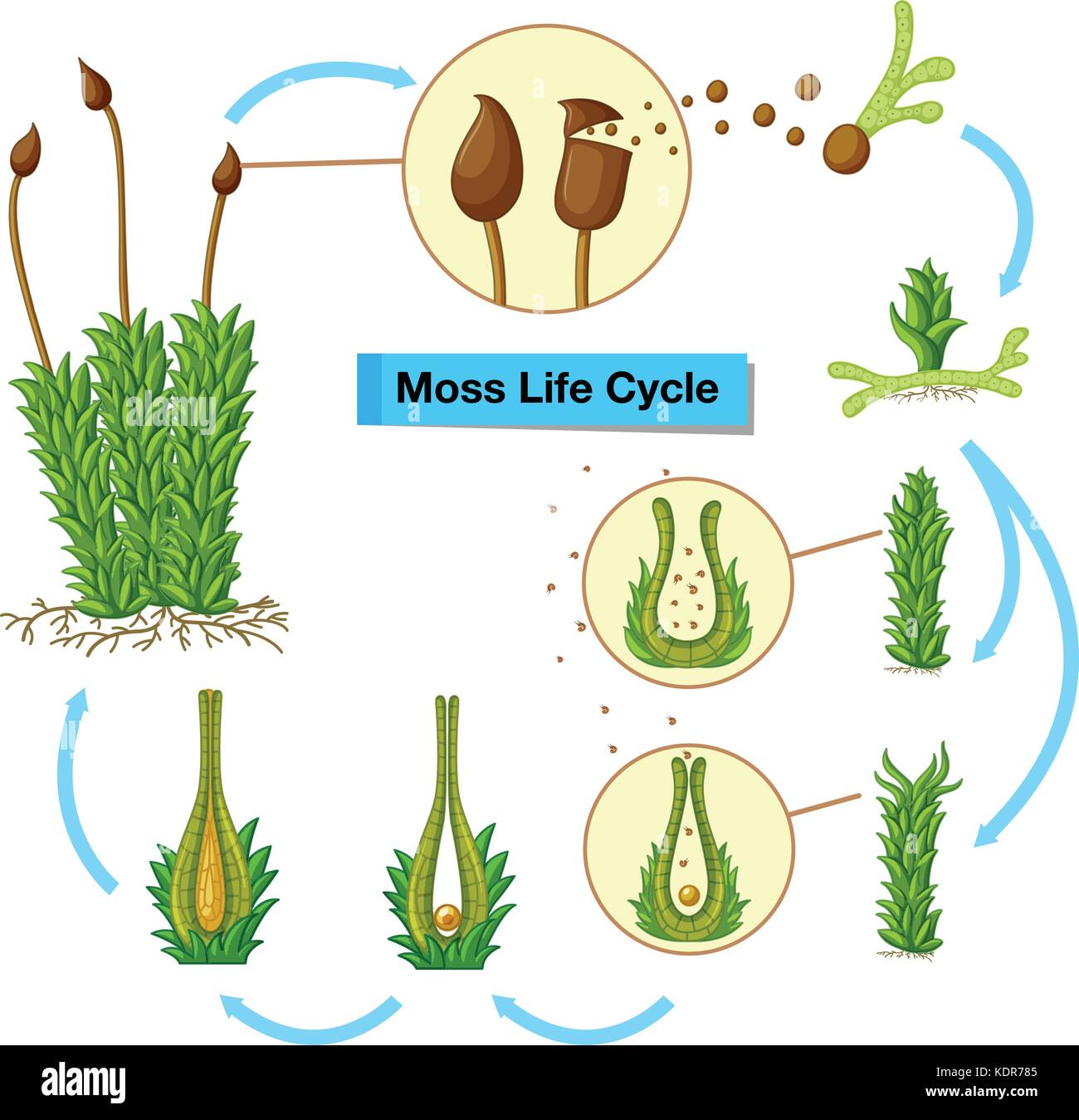 life cycle of a labeled moss diagram wiring for vw beach buggy drawing stock photos and images alamy