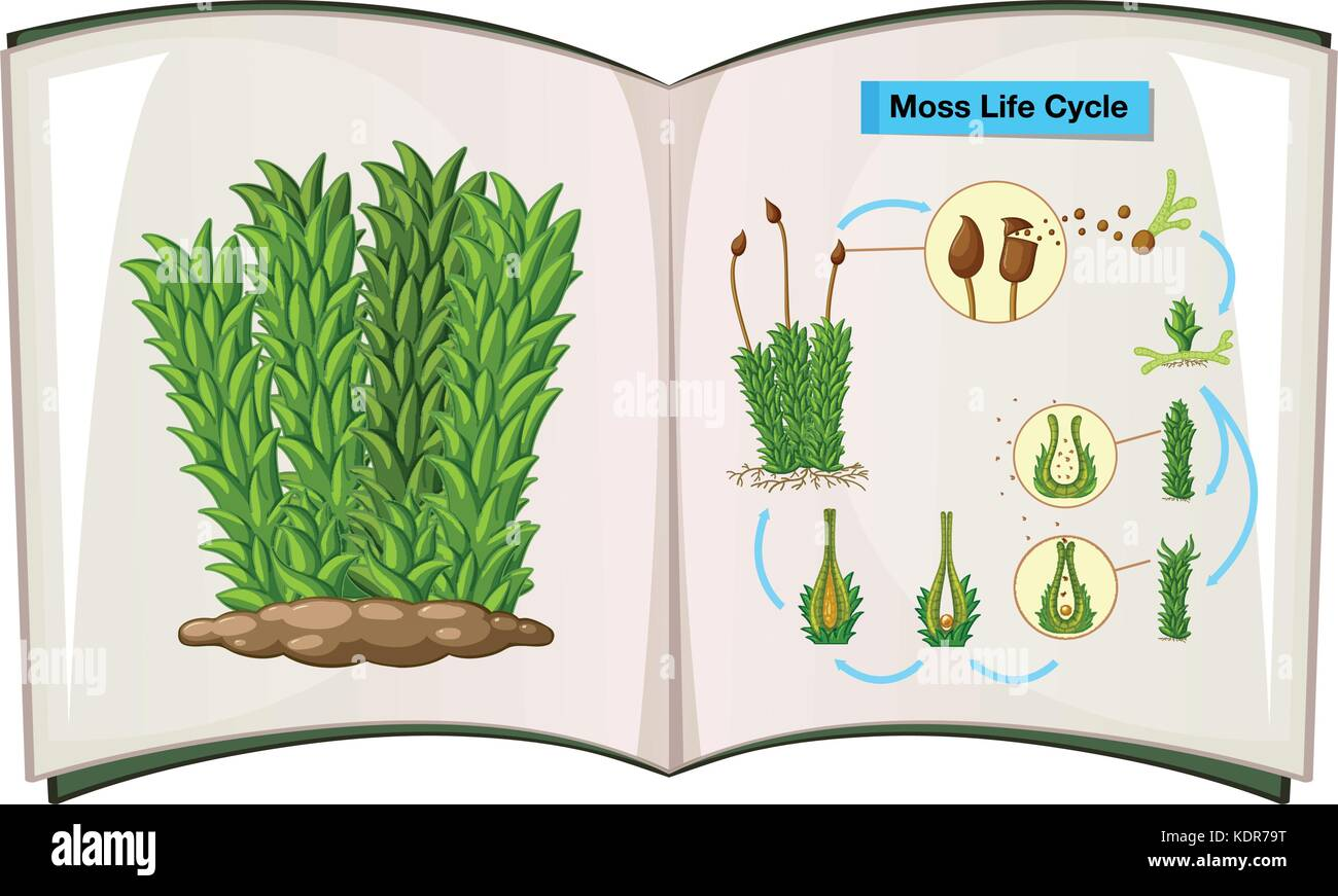 life cycle of a labeled moss diagram 99 f350 trailer brake wiring drawing stock photos and images alamy