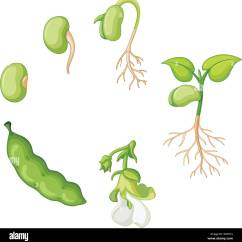 Bean Seedling Diagram Mppt Charge Controller Schematic Flower Life Cycle Illustration Stock Photos And