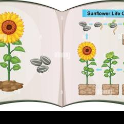 Sunflower Plant Life Cycle Diagram Sip Call Flow Flower Illustration Stock Photos And