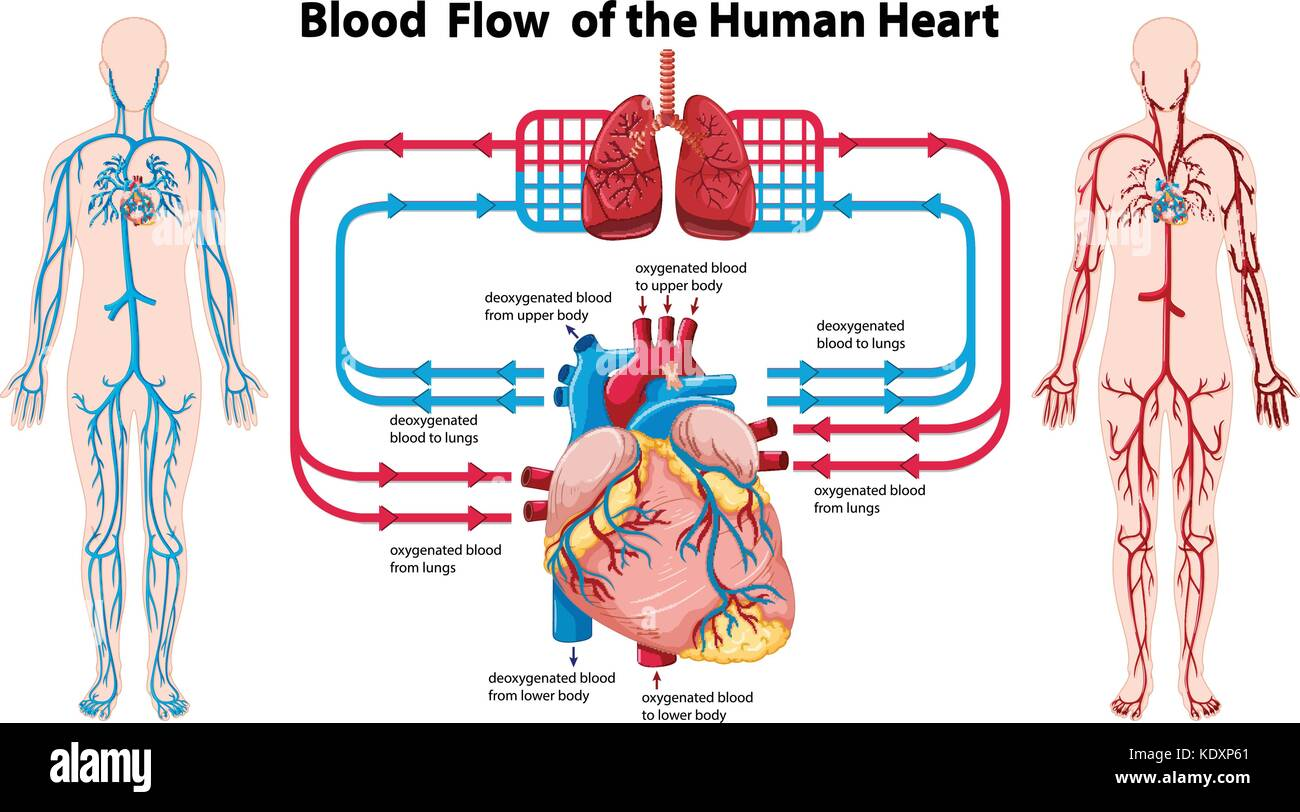 human heart and lungs diagram amana ptac unit wiring stock photos images showing blood flow of the illustration image