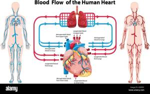 Diagram showing blood flow of the human heart illustration