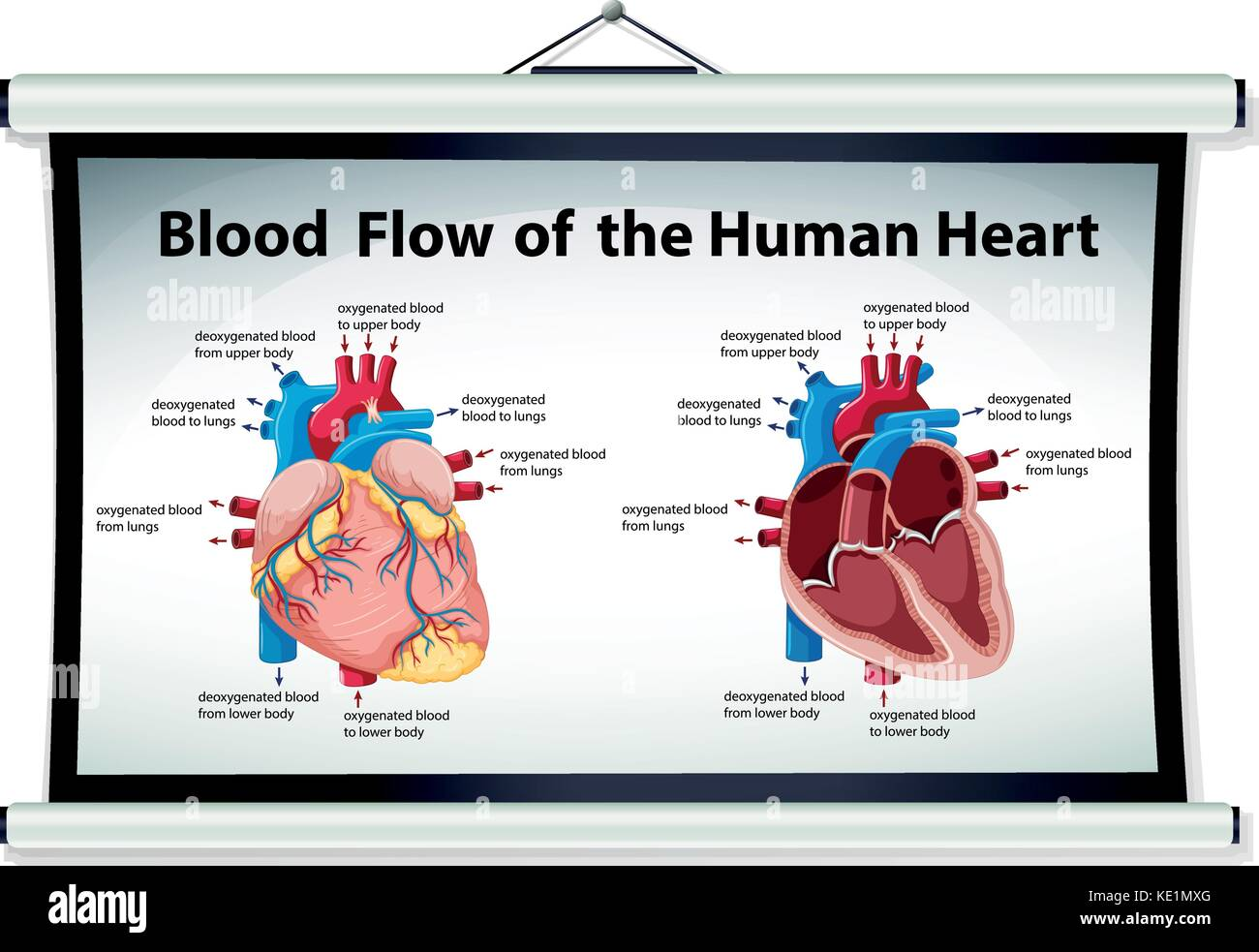 Diagram Showing Blood Flow In Human Heart Illustration