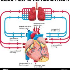 Realistic Heart Diagram 2007 Honda Civic Stereo Wiring Of Blood Flow Data Schema Showing Human Illustration Stock Vector Ear