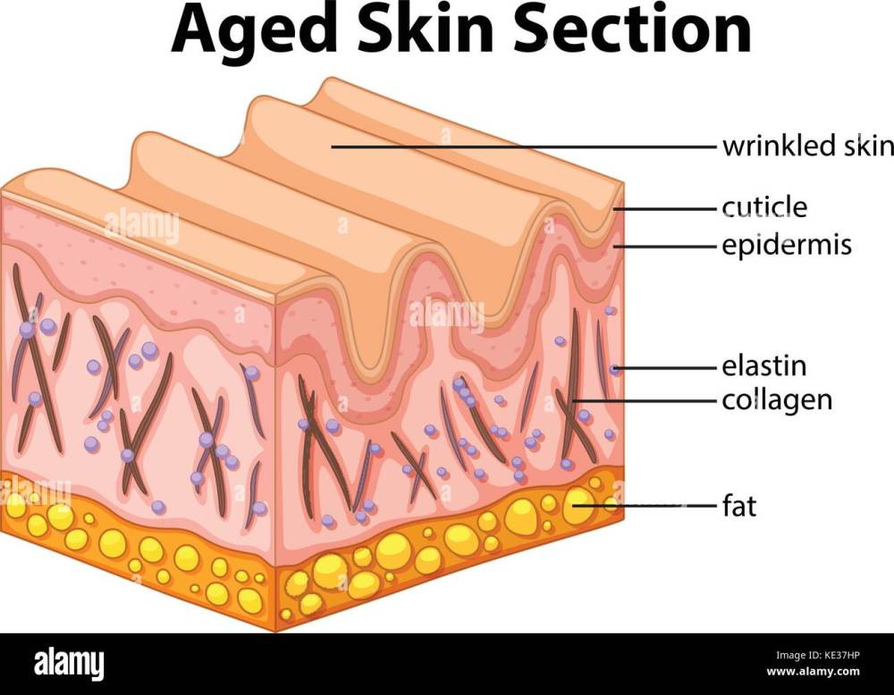 medium resolution of aged skin section diagram illustration stock image