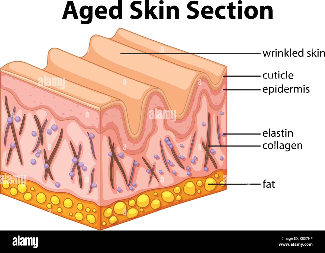 hight resolution of aged skin section diagram illustration stock image