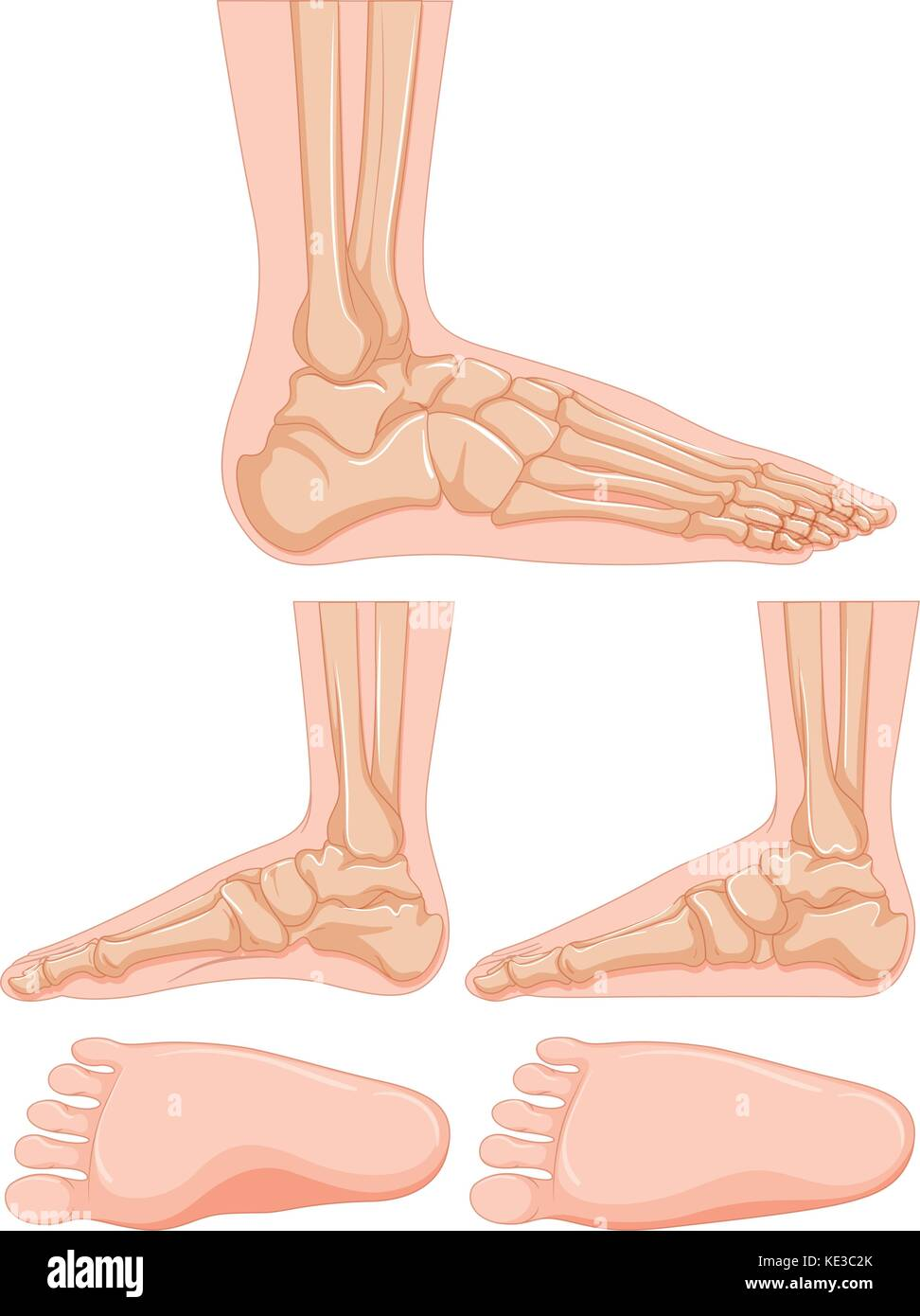 hight resolution of diagram of human foot bone illustration