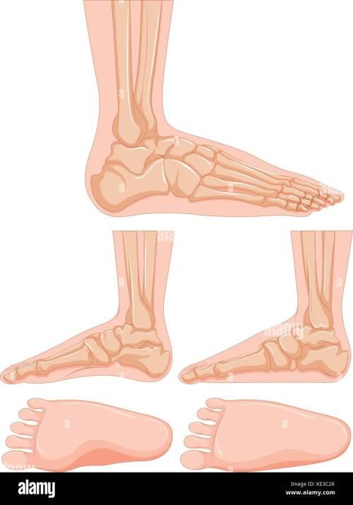 small resolution of diagram of human foot bone illustration