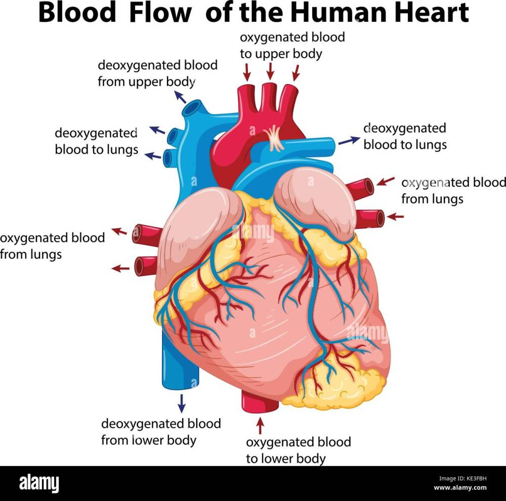 medium resolution of diagram showing blood flow in human heart illustration