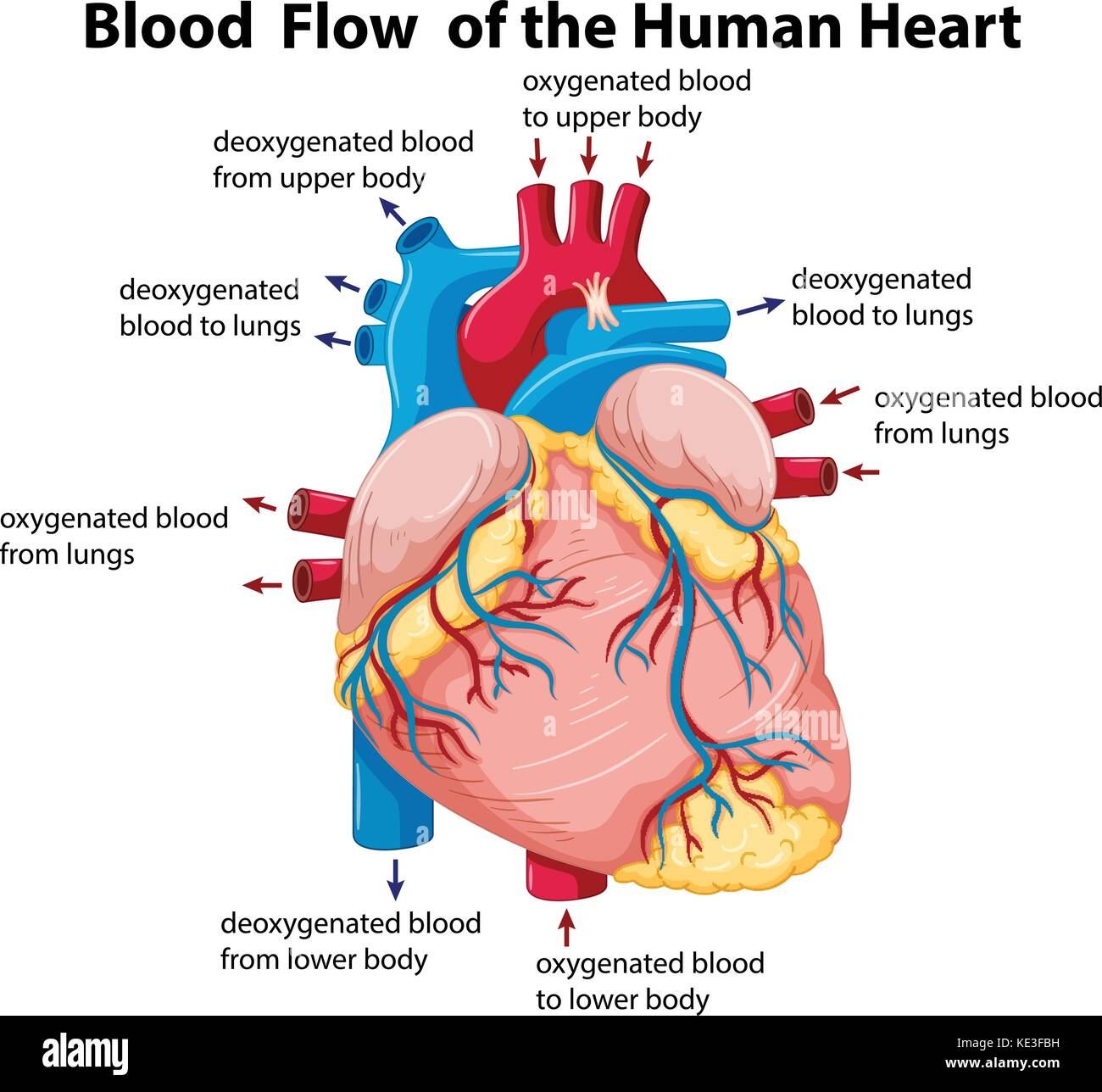 hight resolution of diagram showing blood flow in human heart illustration