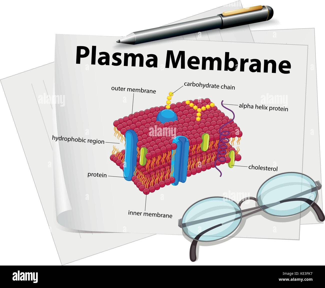 diagram of fluid mosaic model cell membrane write or draw the meaning a bar plasma stock photos and