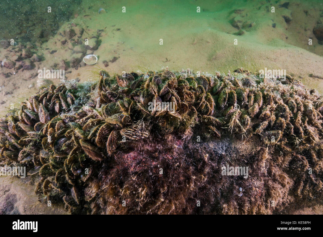 Zebra Mussels Stock Photos Amp Zebra Mussels Stock Images