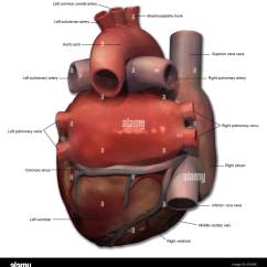 Human Heart Diagram Posterior Intertherm Electric View Of Anatomy With Annotations Stock Photo: 163616362 - Alamy