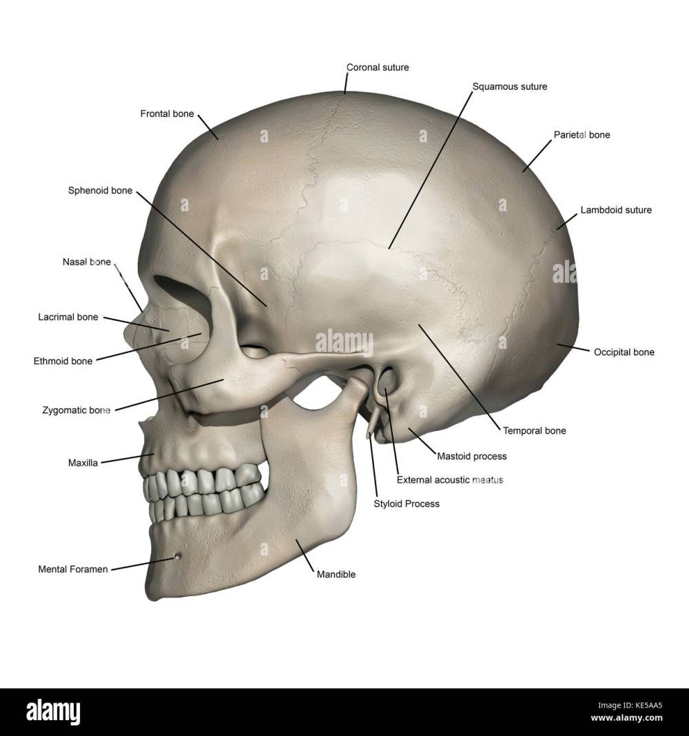 medium resolution of lateral view of human skull anatomy with annotations stock image