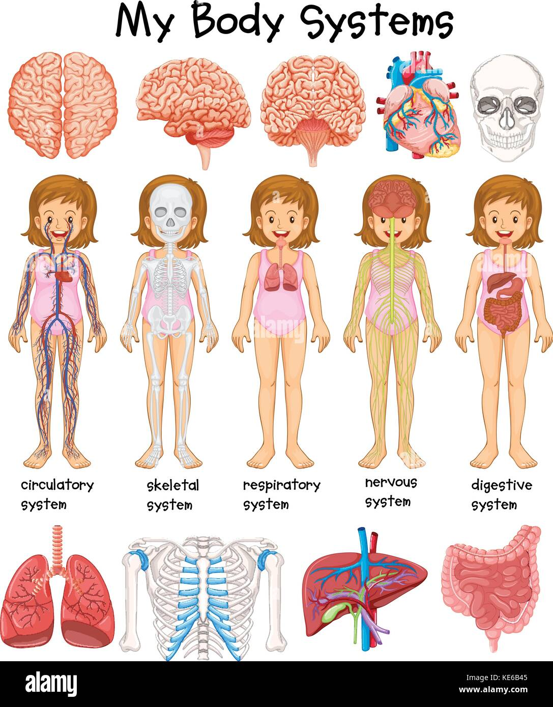 hight resolution of human body systems diagram illustration