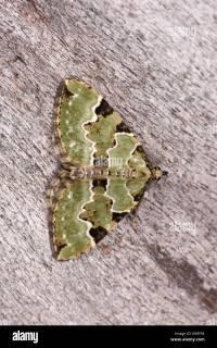 Green Carpet Moth Stock Photos & Green Carpet Moth Stock ...