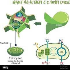Draw A Diagram Of Photosynthesis Vdo Gauges Wiring Diagrams Plant Cell Illustration Vector