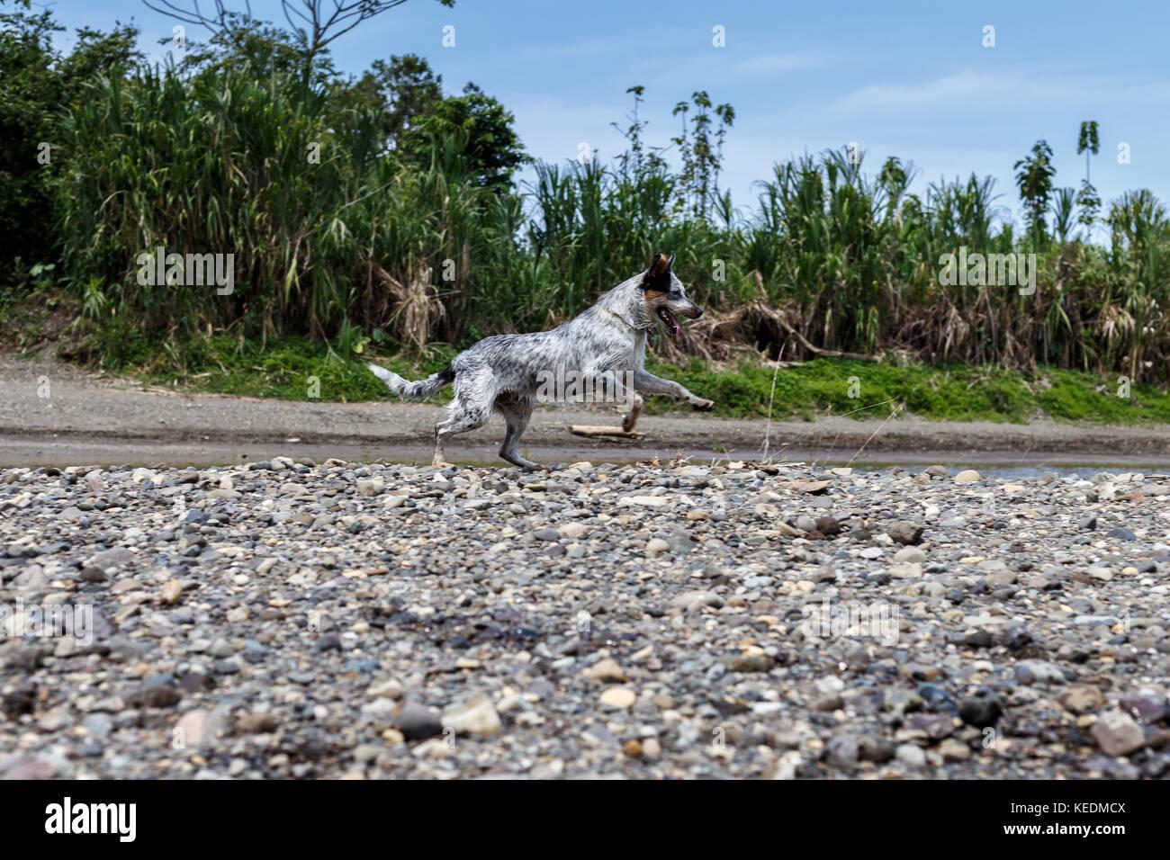 Mix Collie Queensland Border Shepherd Australian