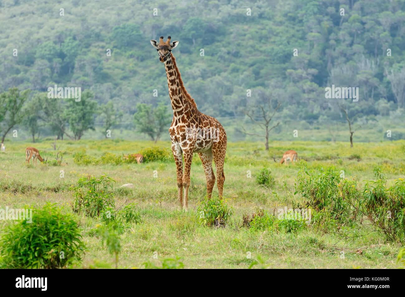 Giraffes Africa Eating