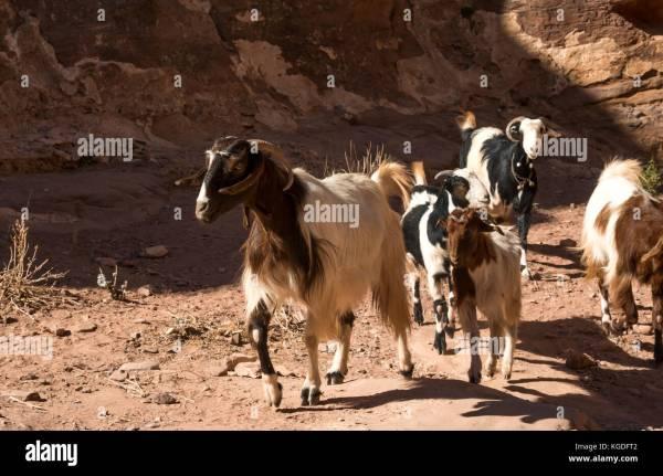 Damascene Goat - Year of Clean Water