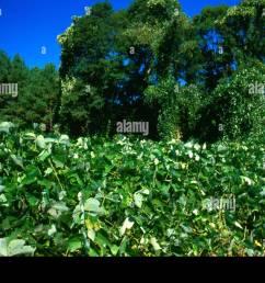kudzu an invasive plant species stock image [ 1300 x 957 Pixel ]