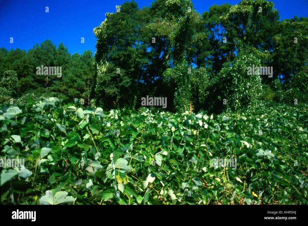 medium resolution of kudzu an invasive plant species stock image