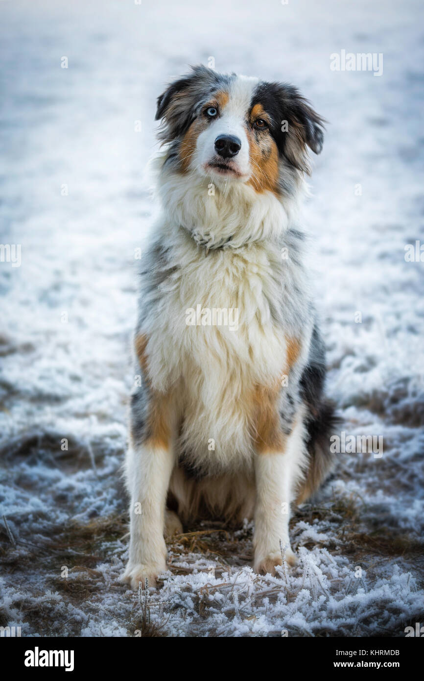 Red Border Collie Snow