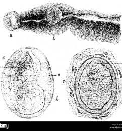 schistosoma japonicum parasites and eggs sketches by katsurada dr 1904 stock image [ 1300 x 1229 Pixel ]