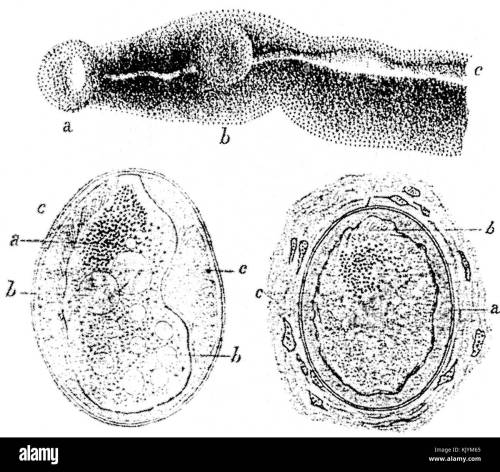small resolution of schistosoma japonicum parasites and eggs sketches by katsurada dr 1904 stock image