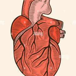 Anatomical Heart Diagram Furnace Wiring Antique Stock Photos Hand Drawn Human In Engraving Style Vector Illustration Image