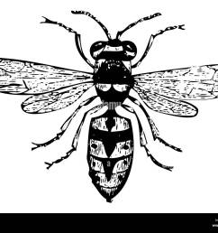 old engraved illustration of a wasp or vespa vulgaris isolated on white live traced from [ 1300 x 1047 Pixel ]