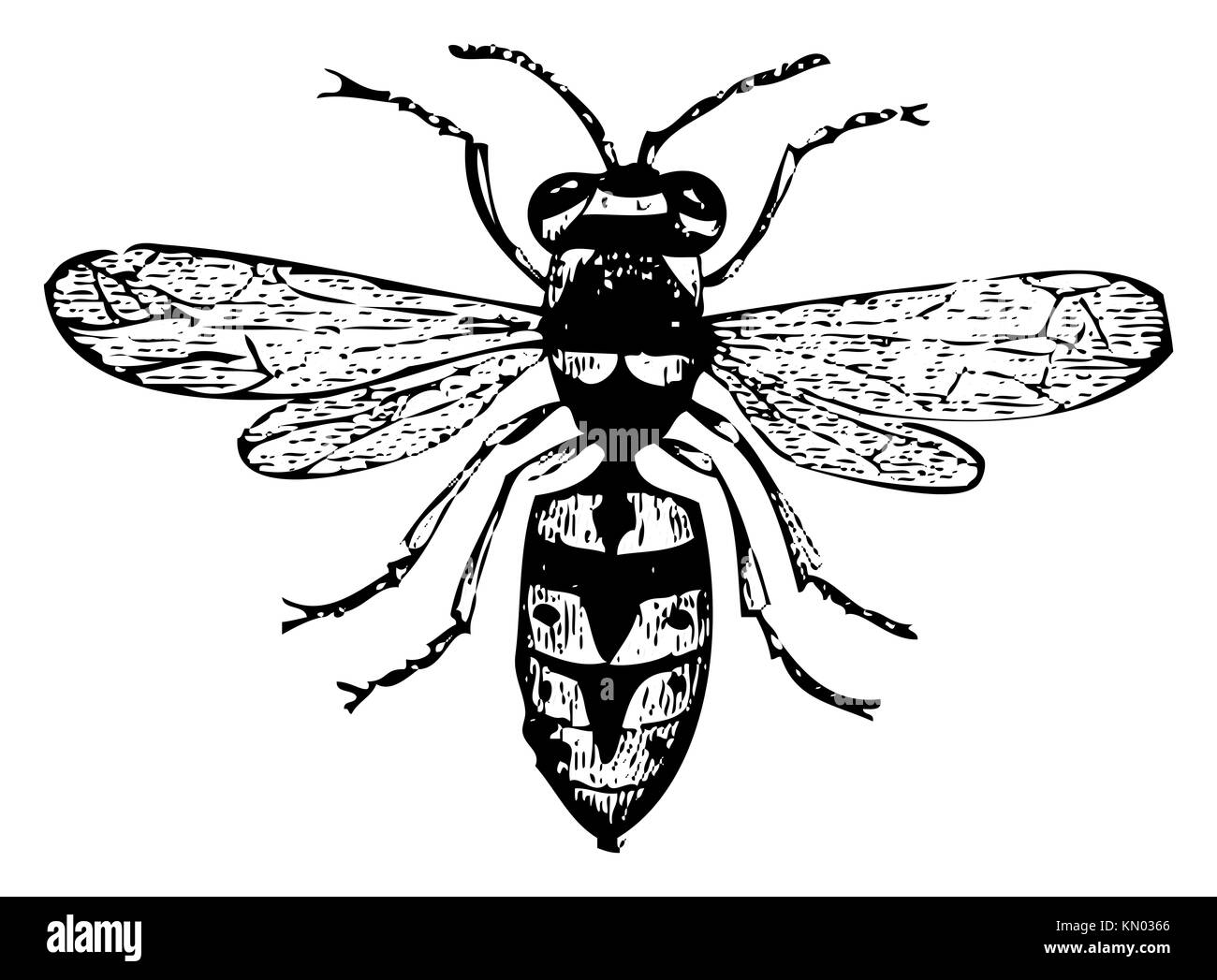 hight resolution of old engraved illustration of a wasp or vespa vulgaris isolated on white live traced from
