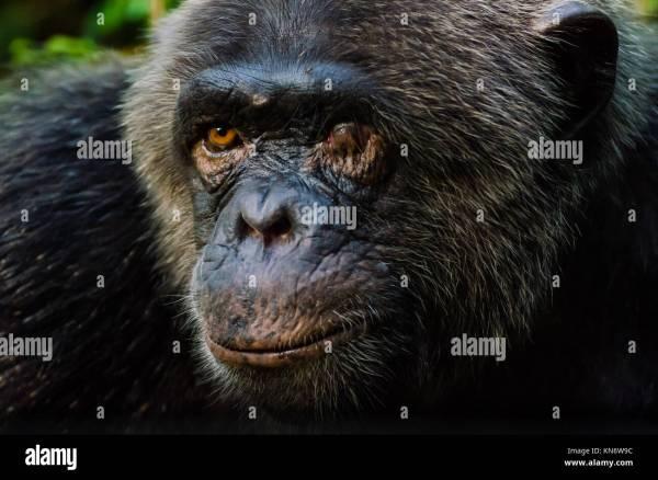 Old Chimpanzee Stock Photos Old Chimpanzee Stock Images
