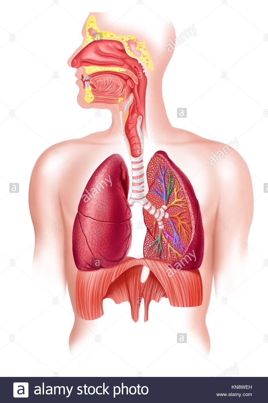 hight resolution of cutaway diagram of a human respiratory sustem also the nasal and mouth parts 2 d digital illustration on white background with clipping path