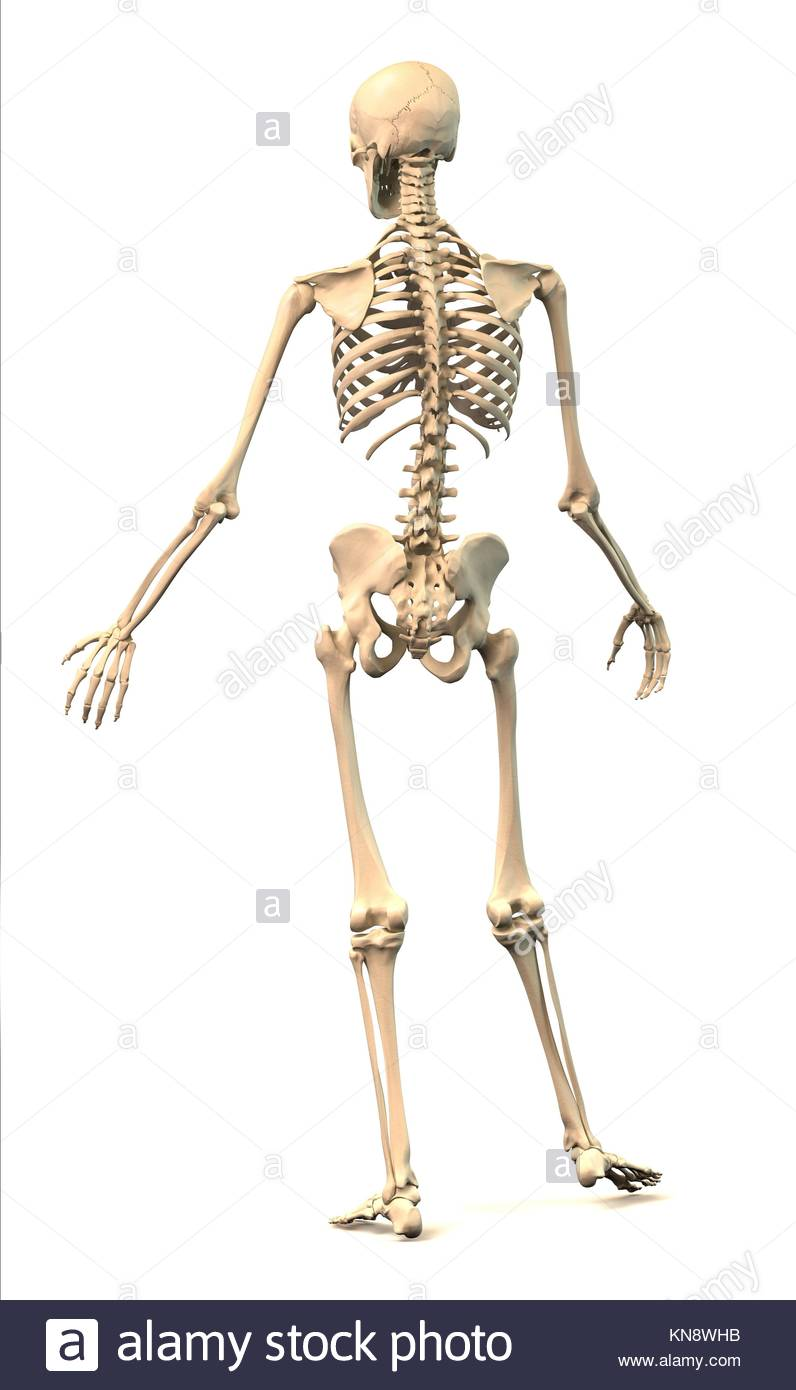 hight resolution of male human skeleton extremely detailed and scientifically correct in dynamic posture rear view