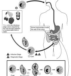 illustrated diagram showing the life cycle of balantidium coli the causal agent of balantidiasis  [ 990 x 1390 Pixel ]