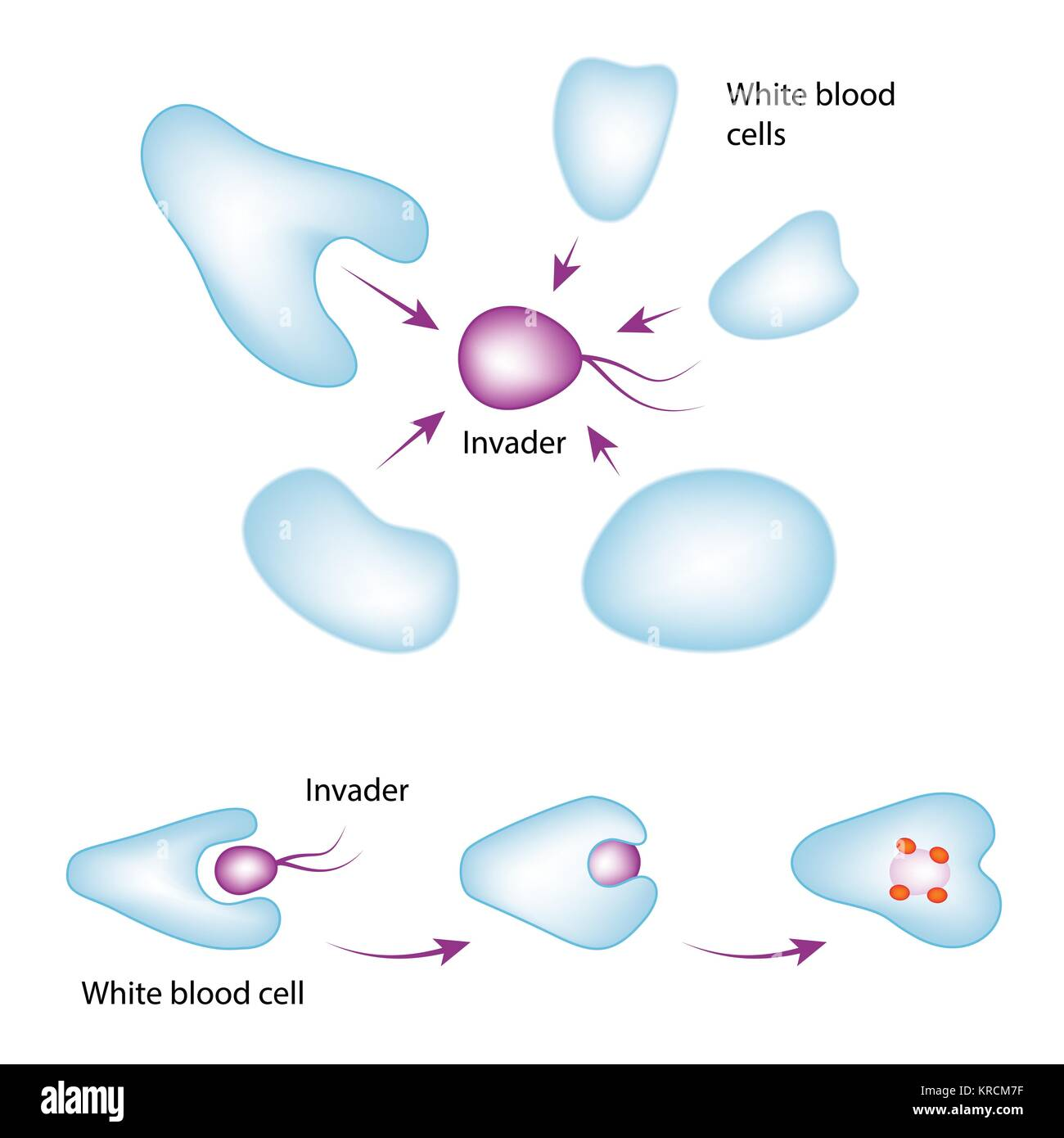 hight resolution of basic mechanism of the immune system white blood cell eating bacteria vector medical illustration