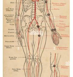 a diagram of the human body with details of bones and arteries date 1908 [ 607 x 1390 Pixel ]
