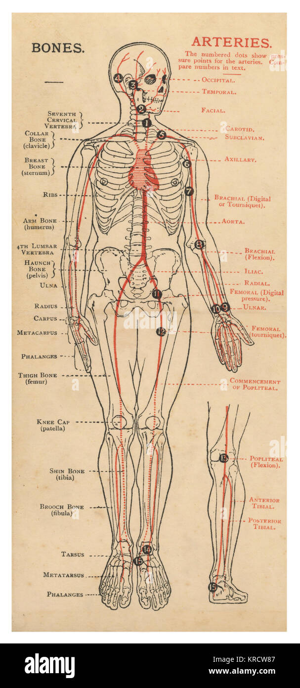 hight resolution of a diagram of the human body with details of bones and arteries date 1908