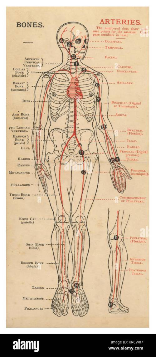 small resolution of a diagram of the human body with details of bones and arteries date 1908