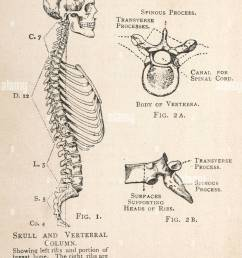 a diagram of the human skull and vertebral column showing the left ribs and a portion of the breastbone as well as a single vertebra from two angles  [ 1005 x 1390 Pixel ]