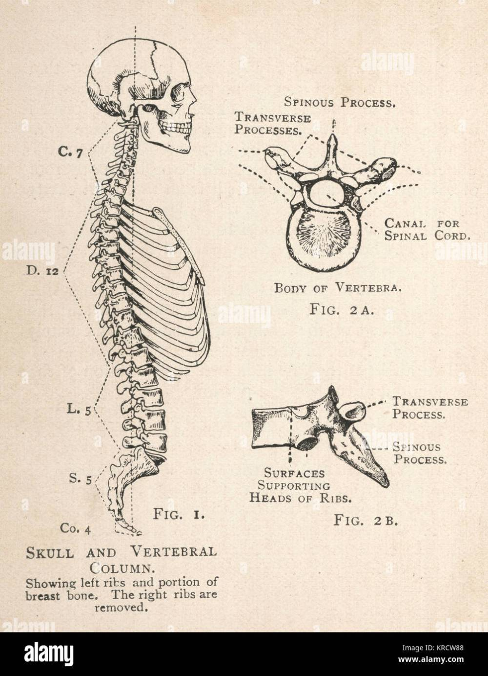 medium resolution of a diagram of the human skull and vertebral column showing the left ribs and a portion of the breastbone as well as a single vertebra from two angles