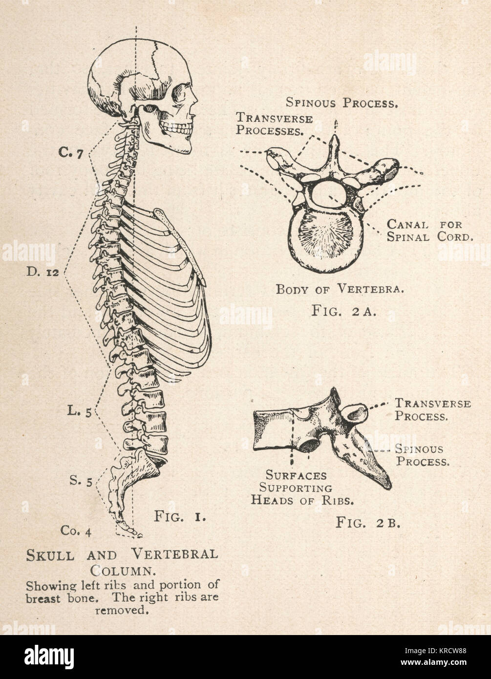 hight resolution of a diagram of the human skull and vertebral column showing the left ribs and a portion of the breastbone as well as a single vertebra from two angles