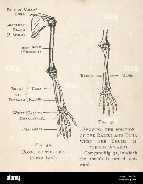 small resolution of diagrams of the bones of the left arm and hand showing the position of the