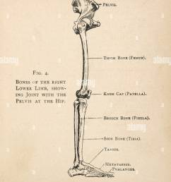 diagram of the bones of the right leg showing the joint with the pelvis at [ 994 x 1390 Pixel ]