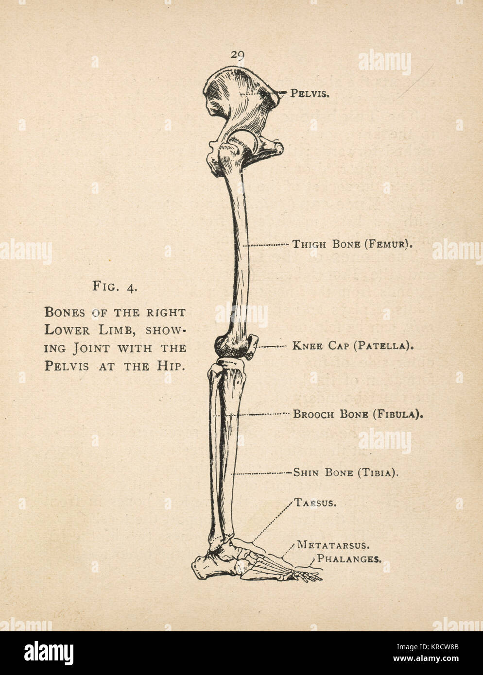 hight resolution of diagram of the bones of the right leg showing the joint with the pelvis at