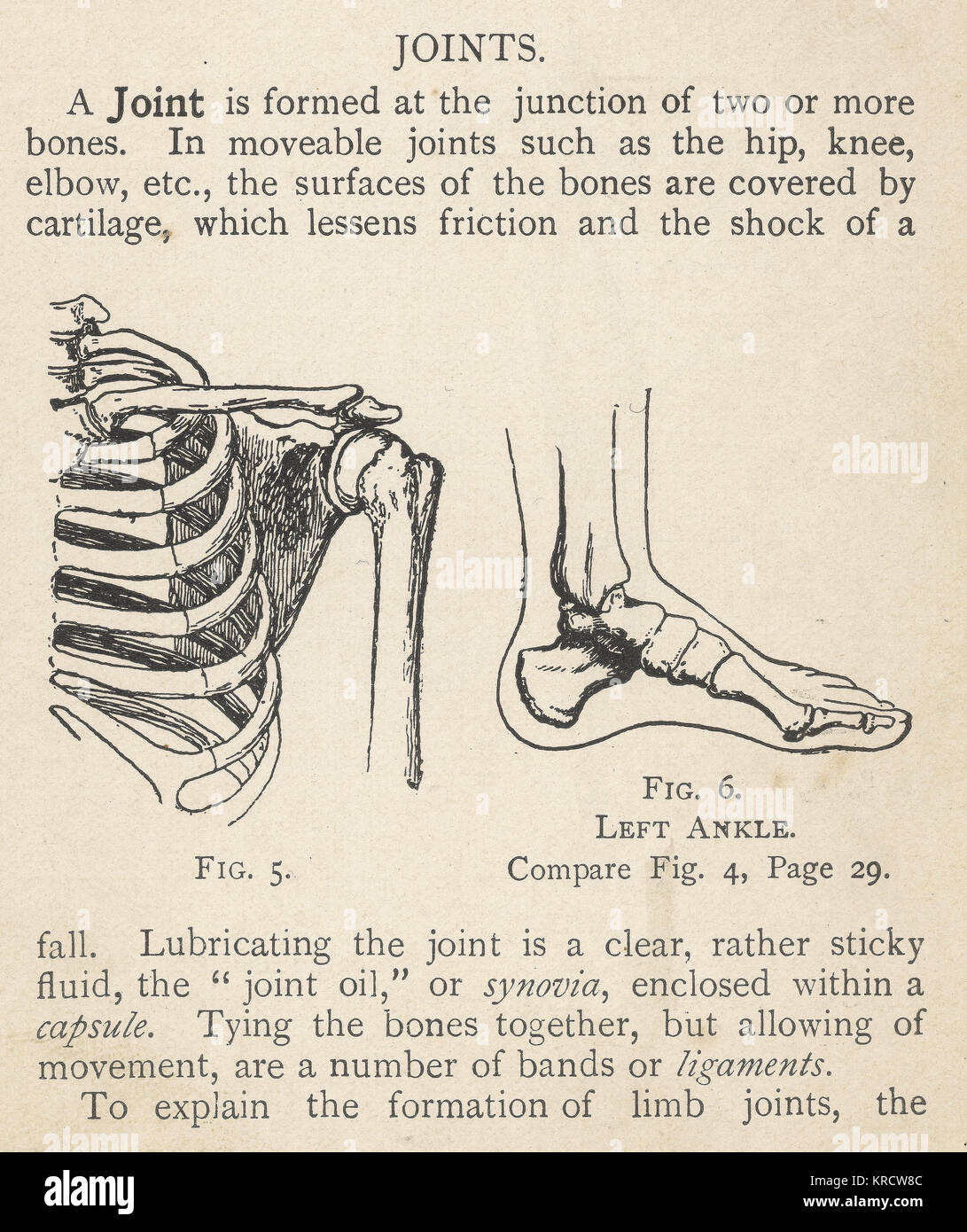joints of the foot diagram 1985 chevy silverado stereo wiring diagrams human shoulder and ankle date 1908 stock
