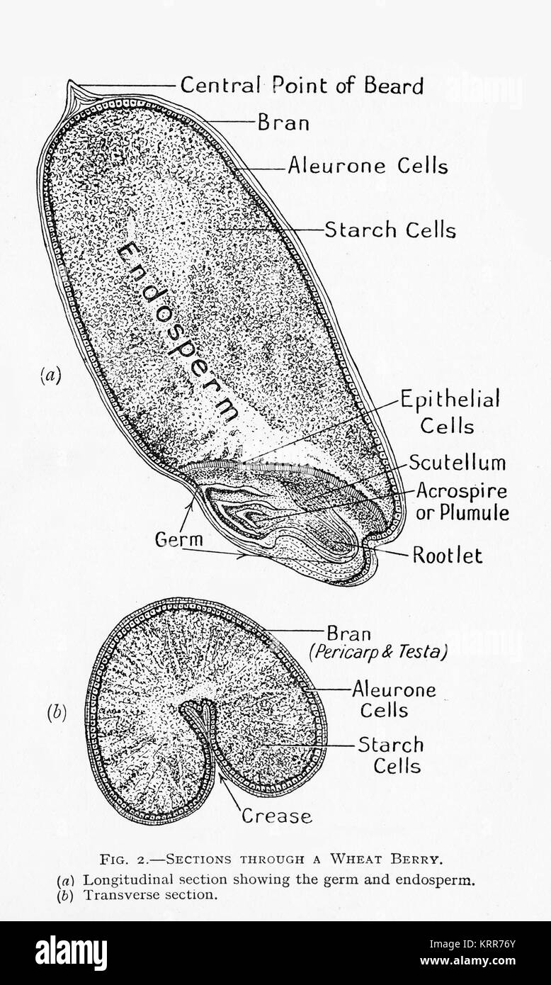 hight resolution of a 19th century diagram of a cross section of a wheat grain