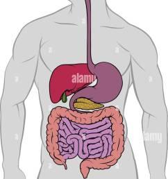 gastrointestinal digestive tract anatomy diagram [ 753 x 1390 Pixel ]